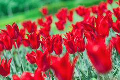 Early spring red tulip on flower bed Royalty Free Stock Images