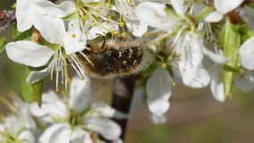 Early spring. Shaggy bug in flowers colours of an apple-tree stock footage