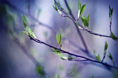 Early spring shoots with tiny leaves light lilac background Stock Photos