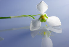 Early spring snowdrop flower. Snowdrop flower and pollen on a blue reflective plane Stock Photo