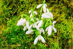 Early spring snowdrops in the mosses Stock Photography