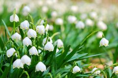 Early spring snowflake flowers. Early spring snowflake wild flowers Royalty Free Stock Photo