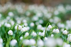 Early spring snowflake wild flowers. In bloom Royalty Free Stock Images