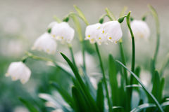 Early spring snowflake wild flowers Royalty Free Stock Photos