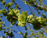 Spring sprout in a sunny day. Early spring sprout in a sunny day, spring bud, sunny day, green, early spring leaves, early spring button, early spring, spring Stock Photo