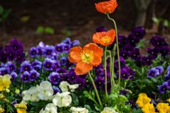 Orange flowers with other colored flowers in the background royalty free stock photo