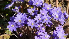 Early spring violet flowers and wind stock video footage