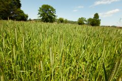 Free Early Spring Wheat Field Stock Photos - 25533443