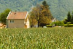 Early spring wheat field Stock Image