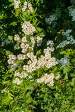 Early spring. White clusters of hawthorn flowers stock photos