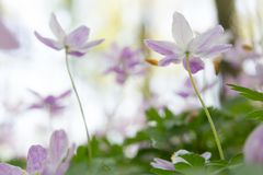 Early spring wildflowers reaching for the sky. Shallow depth image with soft focus. Concept for purity of a new beginning in spring stock photography