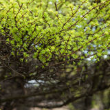 Early spring, young larch close-up, concept of spring, seasons, weather. Fresh coniferous tree branch, modern natural square background, selective focus Stock Photography