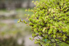 Early spring, young larch close-up, concept of spring, seasons, weather. Fresh coniferous tree branch, modern natural square background, selective focus Royalty Free Stock Photo