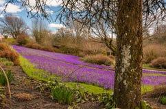 Carpet of purple Crocus Royalty Free Stock Images