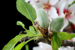 Early stage of almonds growing on a almond tree branch isolated. On black- almond flowers as background royalty free stock photos