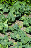 Early Summer Cabbage Garden Stock Photo