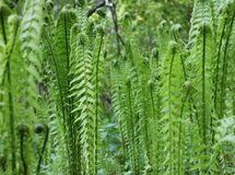 Early young bracken fern in the forest stock photo