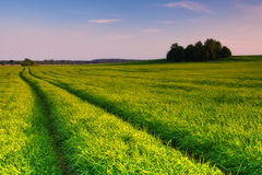 Early summer field. Royalty Free Stock Photos