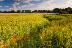 Early summer field Royalty Free Stock Photos