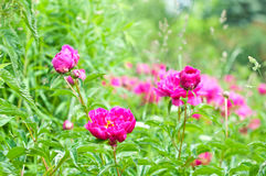 Early summer flowering geranium Stock Photo