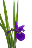 Early Summer Iris with White Background Royalty Free Stock Images