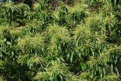 Japanese chestnut flowers. Early summer landscape / Japanesechestnut flowers stock images