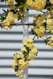 Yellow Banksia rose Stock Image