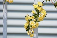Yellow Banksia rose Stock Images