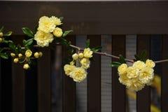 Yellow Banksia rose Stock Photo
