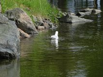 A gull is trying to find some fish. Early summer and lots of fish to get to get them to babies Royalty Free Stock Photos