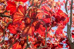 Early summer Maple Leaf with natural red leaves royalty free stock images