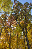Early sunlight illuminates canopy of forest with brilliant autum Royalty Free Stock Photos
