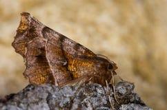 Early thorn moth (Selenia dentaria) on bark Royalty Free Stock Photos