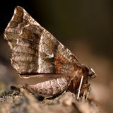 Early thorn moth (Selenia dentaria) with dark wings Royalty Free Stock Photography