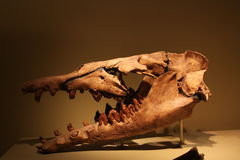 Early whale skull. Early whale with hind limbs lived 54,8 – 33,7 million years ago Stock Image