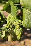 Early white wine grapes Royalty Free Stock Photography