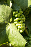 Early white wine grapes Stock Images
