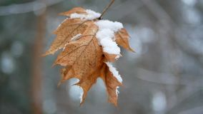Early winte leaves first. Early winter, behind snow covered maple leaves stock footage