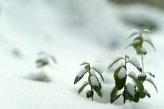 early winter; lingonberry twigs under the first snow royalty free stock photo