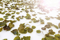 Early winter snow white and green leaves with sunny hotspot Stock Photos