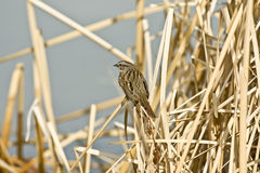 Song Sparrow. Early winter song sparrow sitting in the marsh reeds mid day Royalty Free Stock Images
