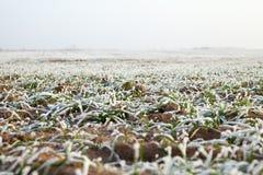 Early winter in wheat field. Stock Photo