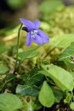 Early or Wood Dog-violet stock photos