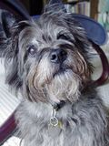 Cairn Terrier. Earnest Cairn Terrier pet at home stock photos