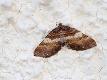 Earophila badiata aka Shoulder-stripe moth on wall. March. Royalty Free Stock Photo