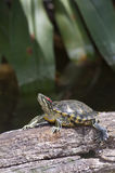 earred röd sköldpadda Arkivbilder
