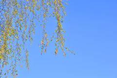 Earrings flowering birch tree. Closeup on blue sky background stock image