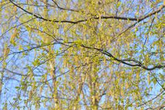 Earrings flowering birch tree. Closeup on blue sky background stock photography
