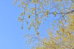 Earrings flowering birch tree. Closeup on blue sky background royalty free stock photo