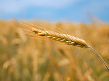 Ears. Wheat ears over blurry field background Royalty Free Stock Photography